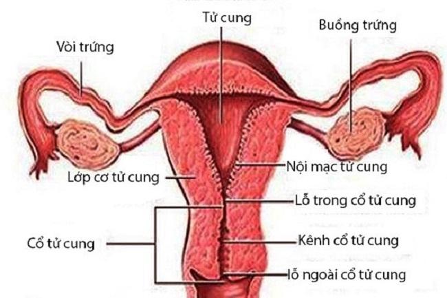 Thuốc làm dày niêm mạc tử cung